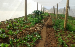 Planted vegetables starting to flourish