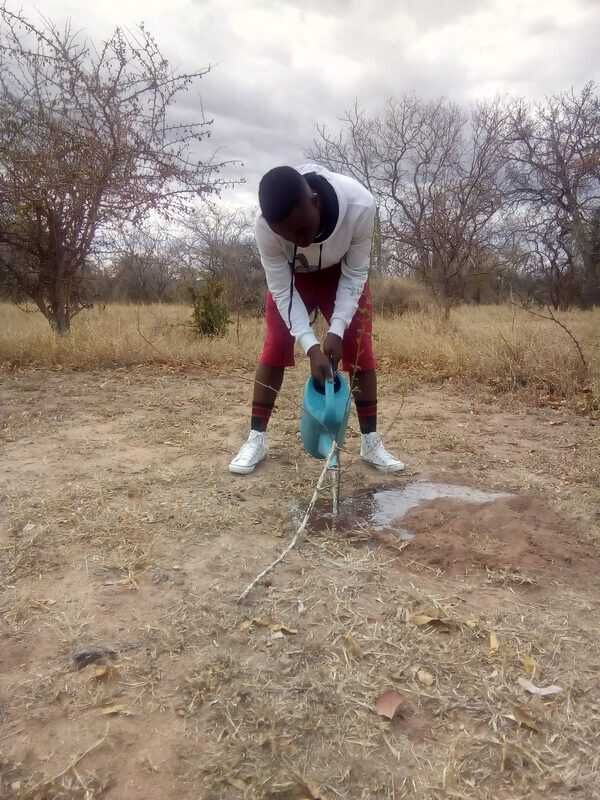Watering the newly planted sapling