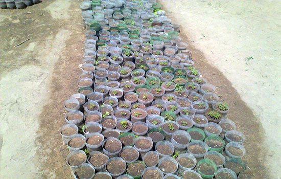 Tree saplings ready to plant